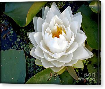 Optical Illusion In A Waterlily Canvas Print by Kaye Menner