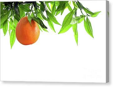 Orange Branch Canvas Print by Carlos Caetano