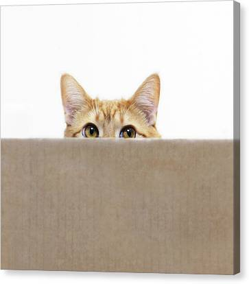Orange Cat Peeping Out From Cardboard Box Canvas Print by Kevin Steele