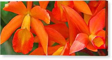 Orange Cattleya Orchid Canvas Print by Becky Lodes