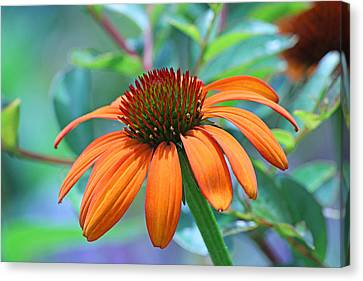 Orange Coneflower Canvas Print by Becky Lodes