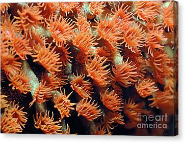Orange Coral Polyps Canvas Print by Sami Sarkis