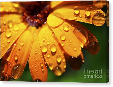 Orange Daisy And Raindrops Canvas Print by Thomas R Fletcher