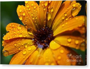 Orange Daisy In The Rain Canvas Print by Thomas R Fletcher
