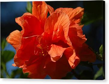 Orange Hibiscus Canvas Print by Aimee L Maher Photography and Art Visit ALMGallerydotcom