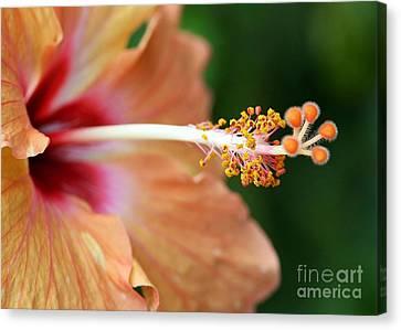 Orange Hibiscus Canvas Print by Sabrina L Ryan