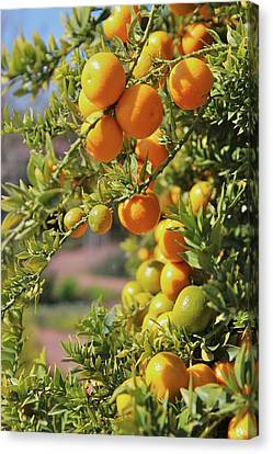Orange On Tree Canvas Print by Karol Franks