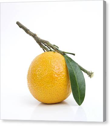 Orange Satsuma Canvas Print by Bernard Jaubert