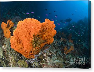 Orange Sponge With Crinoid Attached Canvas Print by Steve Jones