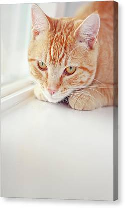 Orange Tabby Cat On White Window Sill Canvas Print by Kellie Parry Photography