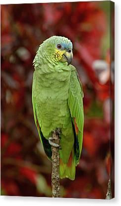 Orange-winged Parrot Amazona Amazonica Canvas Print by Pete Oxford