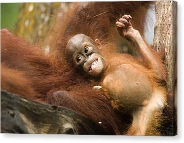 Orangutan Pongo Pygmaeus.  Juvenile Canvas Print by Tim Laman
