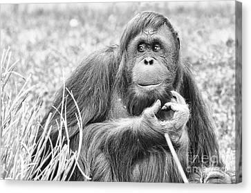 Orangutan Canvas Print by Scott Hansen