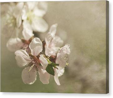 Orchard In Spring Canvas Print by Cheryl Butler