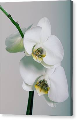 Orchidee Canvas Print by Falko Follert