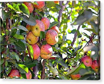 Organic Apples In A Tree Canvas Print by Susan Leggett