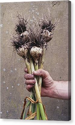 Organic Serpent Garlic Canvas Print by Maxine Adcock