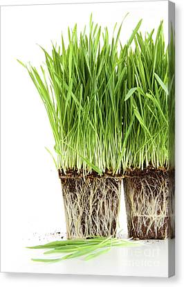 Organic Wheat Grass On White Canvas Print by Sandra Cunningham