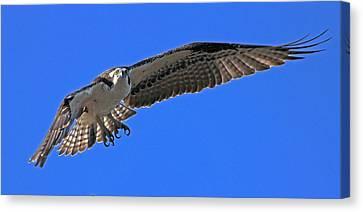 Osprey Flight Canvas Print by Larry Nieland
