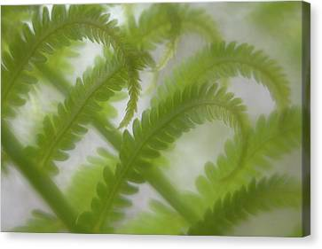 Ostrich Fern Frond Pattern Of Curves Canvas Print by Kathleen Clemons