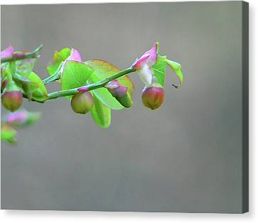 Pacific Huckleberry Canvas Print by Pamela Patch