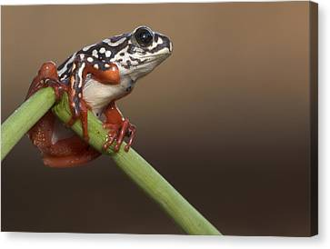 Painted Reed Frog Botswana Canvas Print by Piotr Naskrecki
