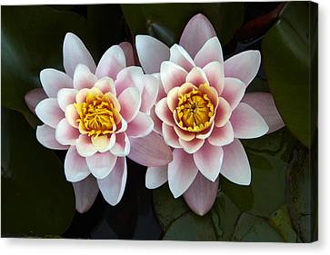 Pair Of Water Lilys Canvas Print by Allan Baxter