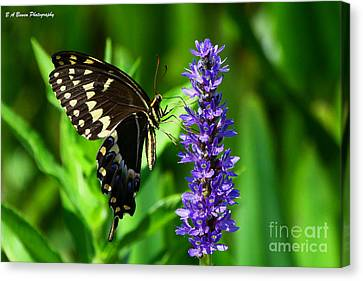 Palamedes Swallowtail Butterfly Canvas Print by Barbara Bowen