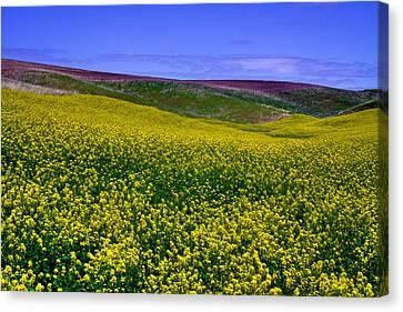 Palouse Hills Canola Fields Canvas Print by David Patterson