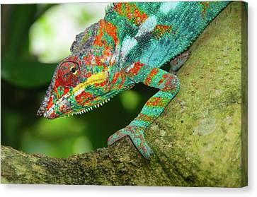 Panther Chameleon Canvas Print by Dave Stamboulis Travel Photography