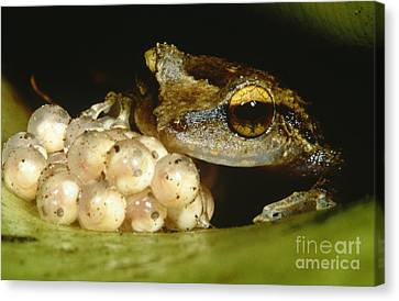 Parental Care By Tree Frog Canvas Print by Dante Fenolio