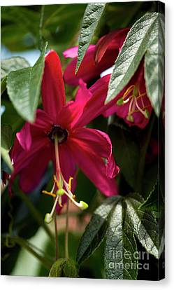 Passion Flower (passiflora Antioquiensis) Canvas Print by Dr Keith Wheeler