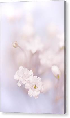 Passion For Flowers. White Pearls Of Gypsophila Canvas Print by Jenny Rainbow