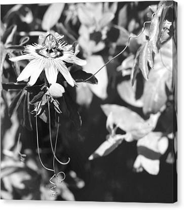 Passionflower And Tendrils Canvas Print by Paul Cowan