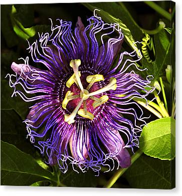 Passionflower Canvas Print by David Lee Thompson