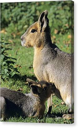 Patagonian Cavy And Young Canvas Print by David Aubrey
