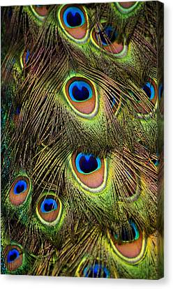 Peacock Feathers Canvas Print by Navid Baraty / Getty Images