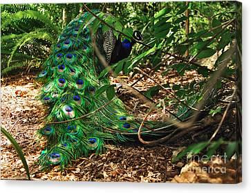 Peacock Hiding Canvas Print by Kaye Menner