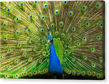 Peacock Wheel Canvas Print by Thomas Splietker