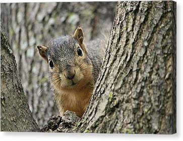 Peek A Boo Squirrel Canvas Print by Rosanne Jordan