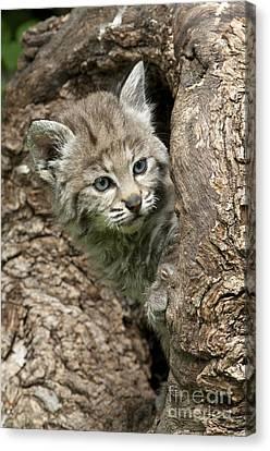Peeking Out - Bobcat Kitten Canvas Print by Sandra Bronstein