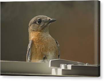 Peeping Bluebird Canvas Print by Kathy Clark