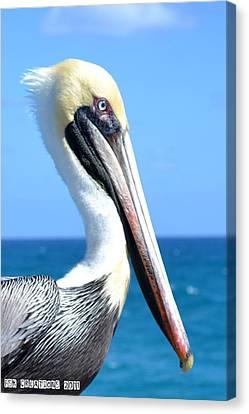 Pelican Canvas Print by Fern Korn