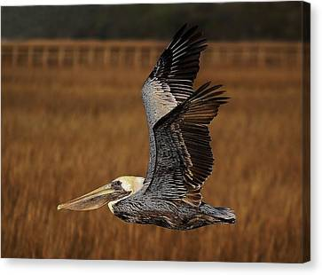 Pelican Flying Through The Marsh Canvas Print by Paulette Thomas