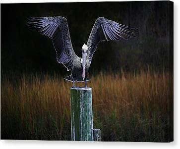 Pelican Wings Canvas Print by Paulette Thomas
