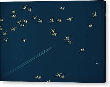 Pelicans And Jet Fly Above Great Salt Canvas Print by James L. Amos