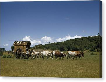 People, Oxen, And Horses Reenact Canvas Print by Luis Marden