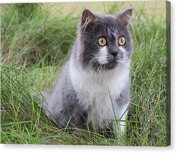 Persian Cat Sit In Green Yard Canvas Print by Nawarat Namphon