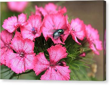 Phlox And Fly Canvas Print by Scott Hovind