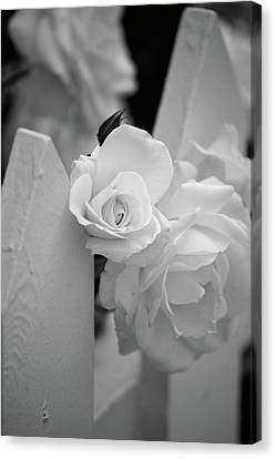 Picket Rose Canvas Print by Peter Tellone